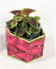 Coleus 'Red Velvet Sun' SeedGems Paper Planter - Biodegradable grow kit