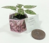 Hypoestes 'Polka Dot Houseplant' -  SeedGems Paper Planter - Biodegradable grow kit